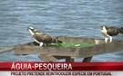 Águia-pesqueira reintroduzida em Portugal