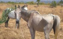 Acusado de deixar cavalos a passar fome