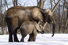 Elefantes africanos dormem apenas duas horas e nem todos os dias
