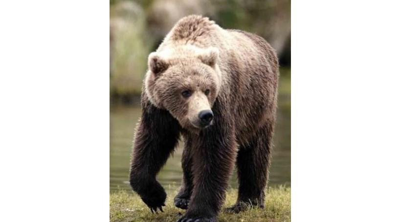 Ucrânia vai criar clínica para ursos bêbedos