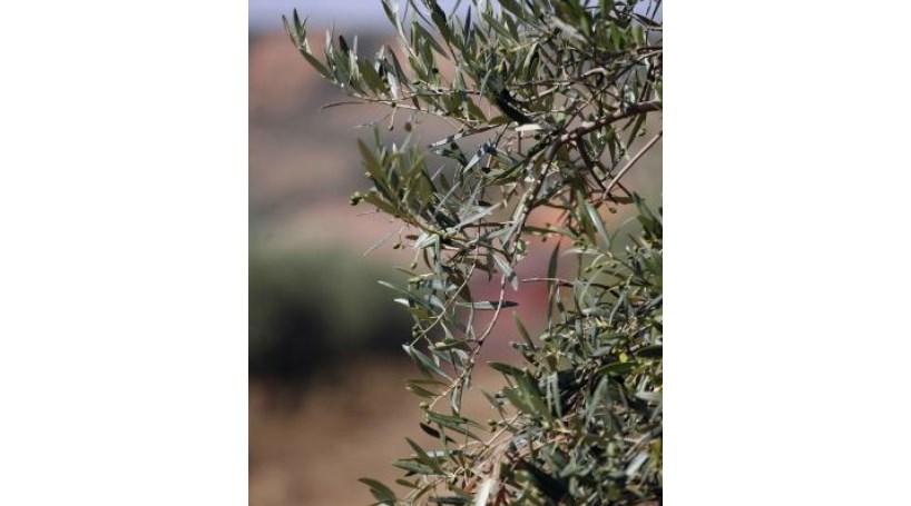 Macedo de Cavaleiros: Casal apanhado a roubar azeitonas