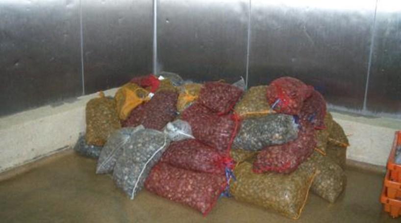 Aveiro: GNR apreendeu mais de meia tonelada de bivalves contaminados