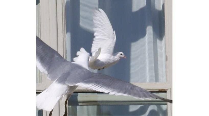 Pomba da paz de Bento XVI atacada por gaivota (COM VÍDEO)