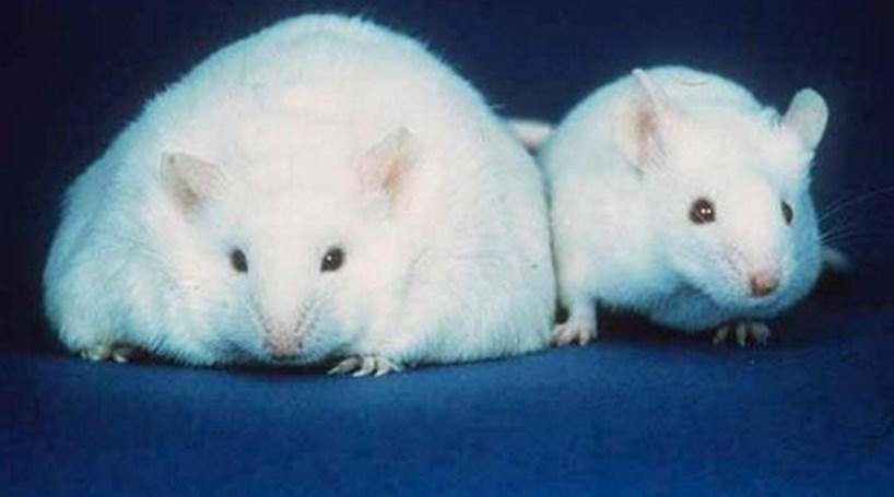 Cientistas revertem envelhecimento em ratos