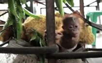 Mundo Louco: A boa vida de um macaco
