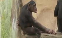 Chimpanzé bebé é nova atração do ZOO