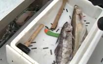 Bacalhau fresco em duelo de chefs