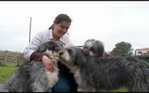 Barbado da Terceira: um cão muito corajoso