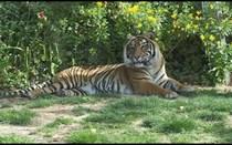 Jardim Zoológico de Lisboa: Tigres-da-sibéria