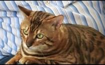 Bengal, um gato muito dócil
