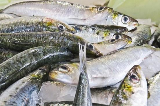 Pesca da sardinha deve ficar suspensa em 2018