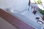 Pequeno bulldog enfrenta ursos