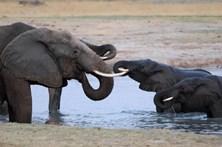Caça furtiva reduz número de elefantes nas savanas de África