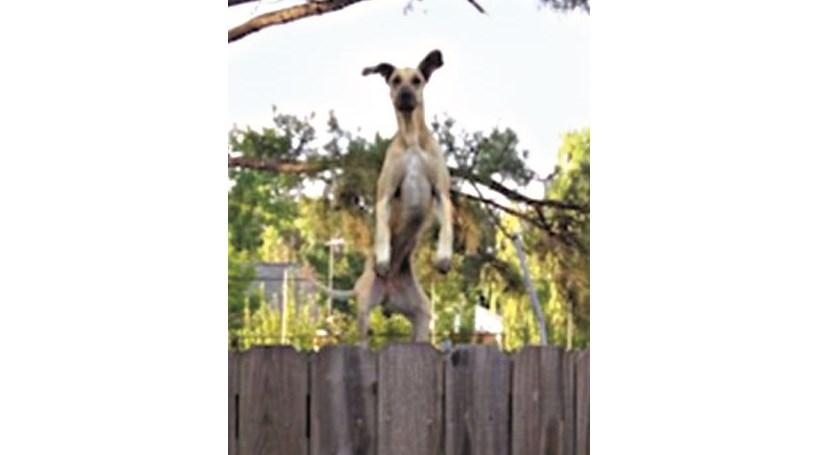 Cão usa trampolim para espiar o vizinho