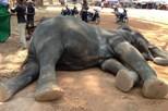 Elefante morre depois de transportar turistas