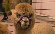 Lã especial das alpacas