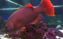 Peixe-cão está há 28 anos no Aquário Vasco da Gama