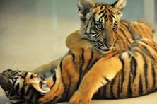 Tigres gémeos nascem em Zoo na China