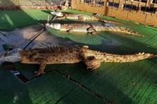 Soltam crocodilos famintos em escola