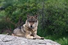 Ataque de lobo dá máximo de 15 mil euros