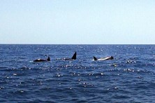 Orcas na costa à caça de atuns