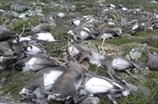 Mais de 300 renas mortas por raios na Noruega