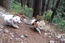 Cão cego é guiado pelo melhor amigo