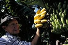Europa aprova proteção da banana da Madeira