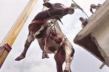 Vaca e boi resgatados de telhado