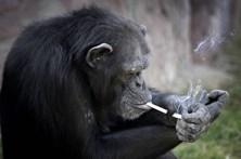 Conheça a chimpanzé fumadora