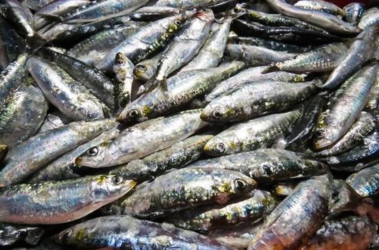Governo garante empenho para manter sustentabilidade na pesca da sardinha