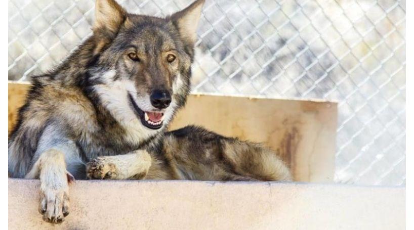 Adota cão abandonado e descobre que é um lobo