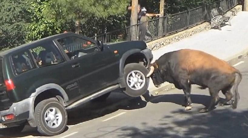 Touro enraivecido ataca carro na rua