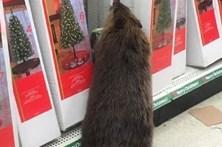 Castor rebelde arrasa loja natalícia