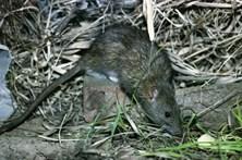 PCP/Açores alerta para praga de ratos nas Flores