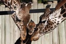 População mundial de girafas caiu 40% em trinta anos