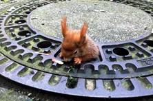 Esquilo entalado em tampa de esgoto