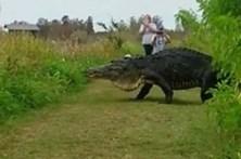 Avistado aligator que parece um dinossauro