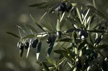 Autarca denuncia 'trabalho escravo' na apanha da azeitona