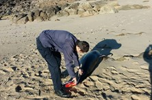 Cinco golfinhos encontrados mortos em praias do norte