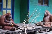 Orangotango mostra que sabe serrar