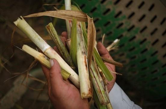 Governo da Madeira assegura apoio à produção de cana-de-açúcar