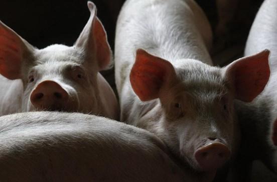 Cientistas fazem crescer células humanas em embriões de porcos