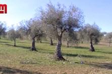 Recluso morre em queda de oliveira