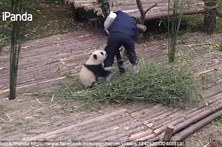Bebé panda carente não larga tratador
