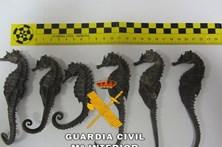 Portugueses traficavam cavalos-marinhos em Espanha
