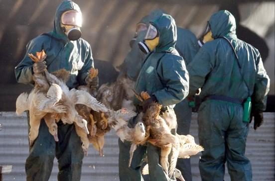 Mais de 600 mil patos abatidos em França para travar gripe aviária