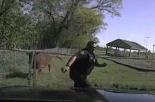 Polícia tenta parar vaca mas é obrigado a fugir