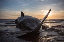 Baleia dá à costa em praia dos Açores