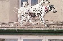 Três dálmatas ficam presos em telhado
